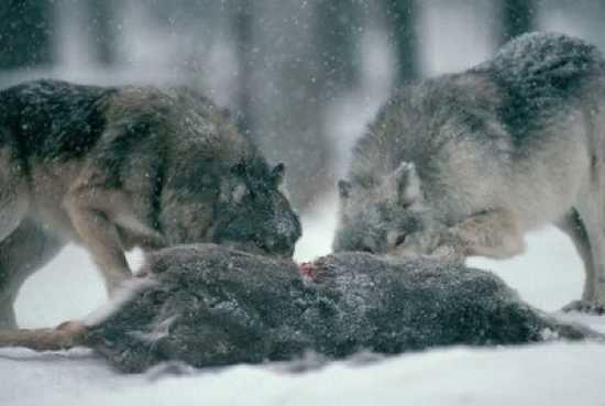 Loài sói có thể ăn bất cứ thứ gì để sống, ngay cả các loài vật đã chết lâu ngày.