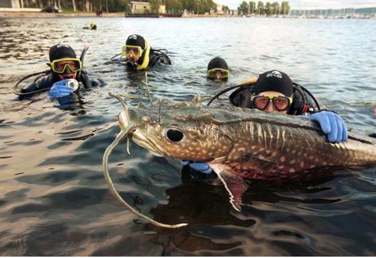Cá da trơn khổng lồ