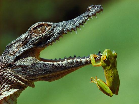 Cá sấu sông Nile