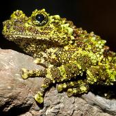 """Cận cảnh loài ếch """"quái"""" nhất thế giới chỉ có ở Việt Nam"""