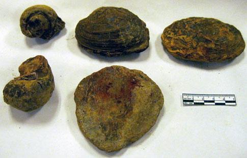 Mẫu ốc và trai hóa thạch.