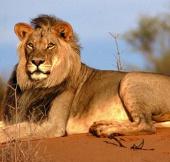 Hoang mạc châu Phi dần biến mất, sư tử bị đe dọa