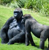 Tính cách hướng ngoại giúp khỉ đột sống lâu