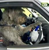 Kì lạ chó học lái xe ôtô