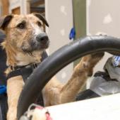 Video: Chó học lái xe ôtô