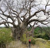 Báo động sự suy giảm các cây cổ thụ