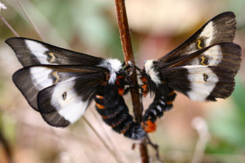 Ngài bướm