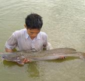 Quảng Bình: Nuôi thành công cá lăng chấm ở ao đất