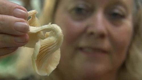 Giáo sư Betty Schwartz khám phá ra nấm bào ngư có chứa chất giúp điều trị bệnh ung thư đại tràng