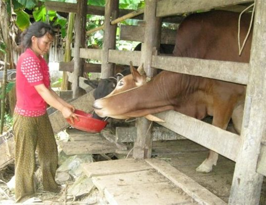 Chăn nuôi đại gia súc