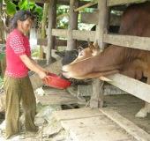 Phát triển chăn nuôi đại gia súc ở vùng Tây Nguyên