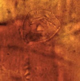 Phát hiện sinh vật kỳ dị trong kén 200 triệu tuổi