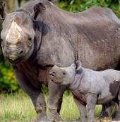 Bộ Nông nghiệp muốn cấm nhập mọi mẫu vật tê giác