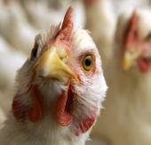 Indonesia phát hiện dòng mới của virus cúm H5N1