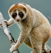 Phát hiện loài khỉ có nọc độc ở Đông Nam Á