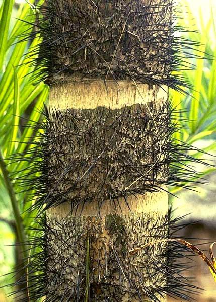 Bao bọc toàn thân cây cọ Pejibaye là những gai đen, cứng mọc theo vòng tròn từ gốc đến ngọn.