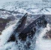 Cá voi nhào lộn tại Na Uy