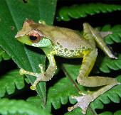 Phát hiện thêm loài ếch ở Việt Nam