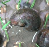 Diệt trừ 3 loài ngoại lai xâm hại nghiêm trọng