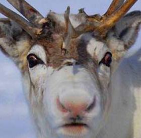 Tại sao mũi tuần lộc của ông già Noel lại có màu đỏ