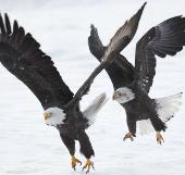 Ảnh đẹp: Đại bàng không chiến tranh thức ăn