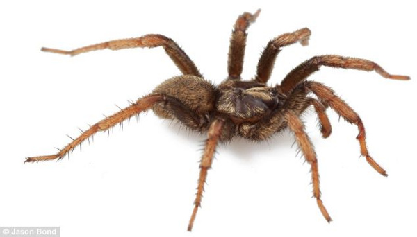 Một con nhện Aptostichus barackobamai đực.