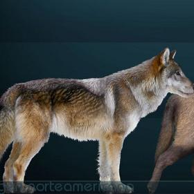 Phát hiện hóa thạch loài sói đã tuyệt chủng