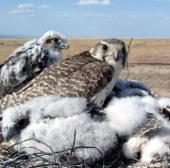 Mông Cổ cần tăng cường bảo vệ loài chim quốc gia