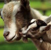 Gia súc tại Mỹ mất tai hàng loạt