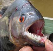 Loài cá có cú táp vô địch
