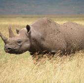 Tiêm chất độc vào sừng tê giác để chống săn trộm