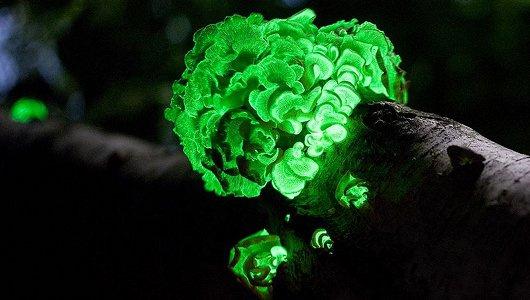 """Nấm phát quang là một loài thực vật độc, còn có tên khác là """"nấm ma""""."""