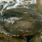 Cá kỳ dị chết hàng loạt trên bờ biển Anh