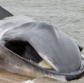 Cá voi lưng xám khổng lồ dạt vào thành phố New York