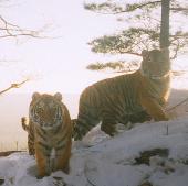 Hổ đang hồi sinh tại châu Á