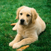Huấn luyện chó khám bệnh