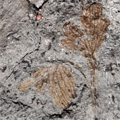 Hóa thạch loài hoa cổ nhất Bắc Mỹ