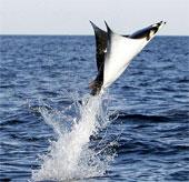 Video: Đàn cá đuối bay như chim trên mặt biển