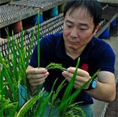 Phát hiện một loại gene lúa mới cho năng suất cao