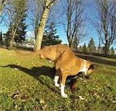 Nghị lực phi thường của chú chó hai chân