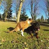 Video: Chú chó hai chân Duncan Lou