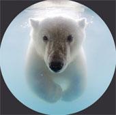 Ảnh gấu Bắc Cực bơi trong hồ băng