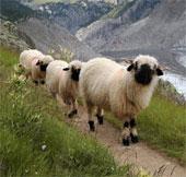 Cừu mũi đen quý hiếm ở Thụy Sĩ