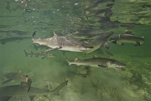 Cá mập cũng hồi hương để sinh sản