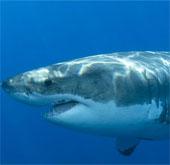Tuyệt chiêu tấn công của cá mập