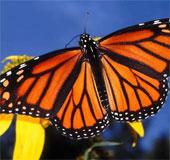 Choáng ngợp cảnh tượng hàng tỷ bướm vua di cư