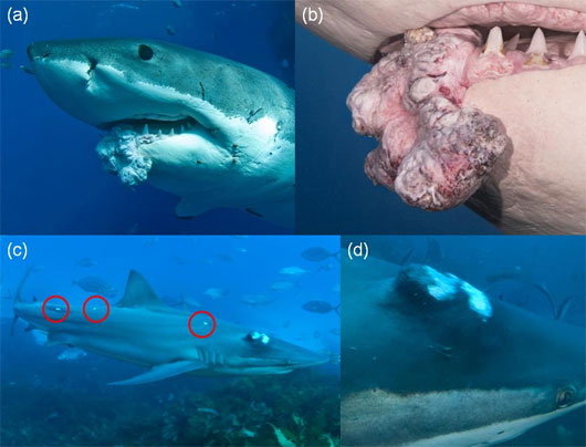 Sụp đổ huyền thoại cá mập