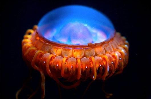 65 điều thú vị về loài sứa (1)