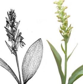 Tìm thấy loài hoa lan hiếm nhất thế giới