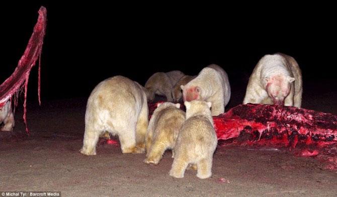 Chùm ảnh bầy gấu Bắc cực xé xác cá voi khổng lồ